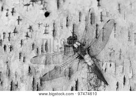 Corporal Dragonfly Ladona Julia