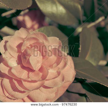 Rose Retro Vintage Style.