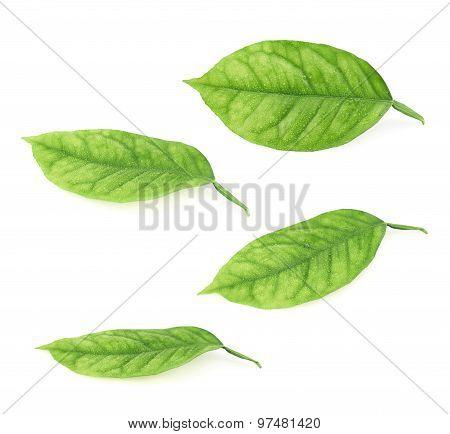 Lemon tree leaves isolated