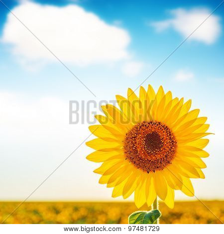sunflower closeup on field and white clouds in blue sky. soft focus
