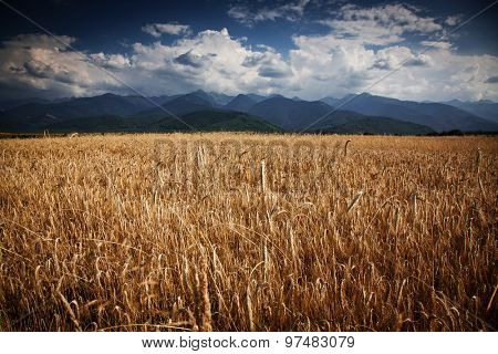 wheat field and  mountains in the background - summer landscape