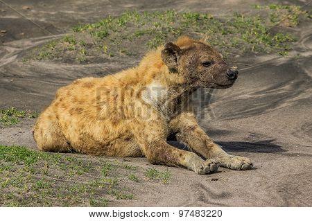 Hyena lying