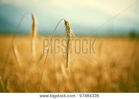 Ripe wheat field in summer