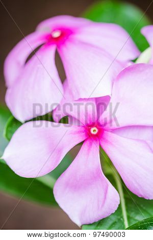 Beautiful Pink Vinca Flowers