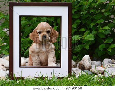 picture perfect puppy - american cocker spaniel puppy sitting behind a picture frame in a garden