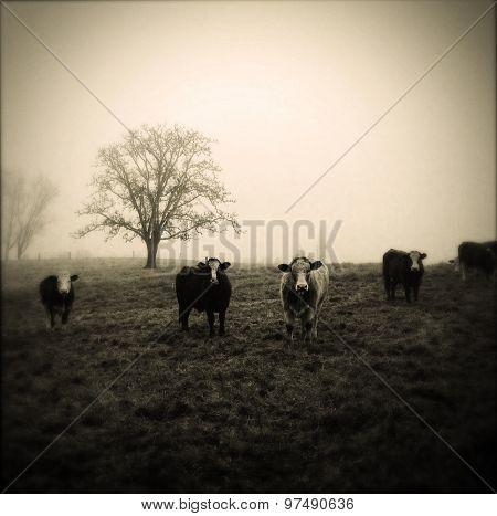 Livestock facing camera, foggy morning, soft focus