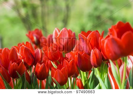 Red Tulips in the Botanical garden of Merano