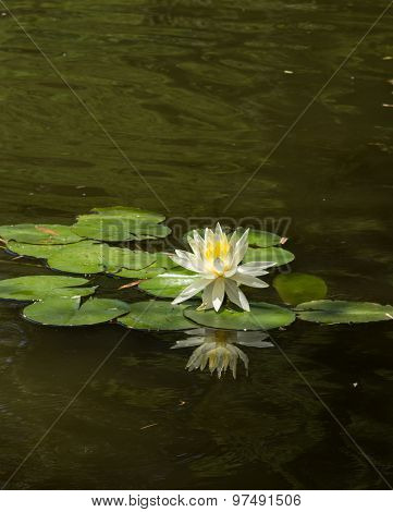 Solo white water lily with reflection