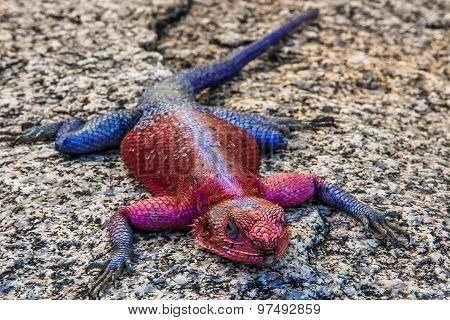 African Agama