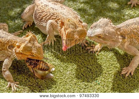 Lizards eating