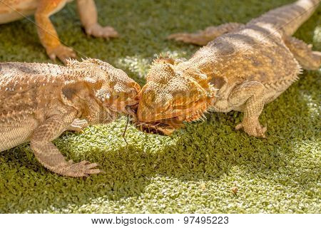 Pogona fighting
