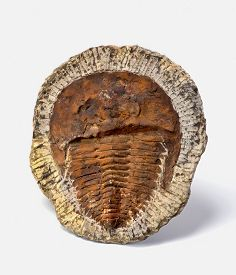image of paleozoic  - 500 million years old Cambrian period Trilobite from Morocco - JPG