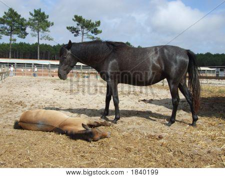 Female Horse