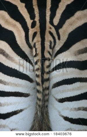 zebra backside