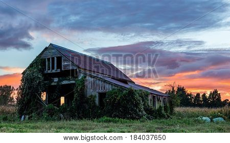 One very old wooden farm shed with weed over growing it.
