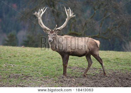 Male Stag Deer on a meadow