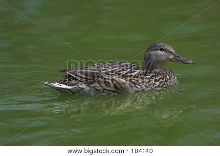 Duck Img_221901