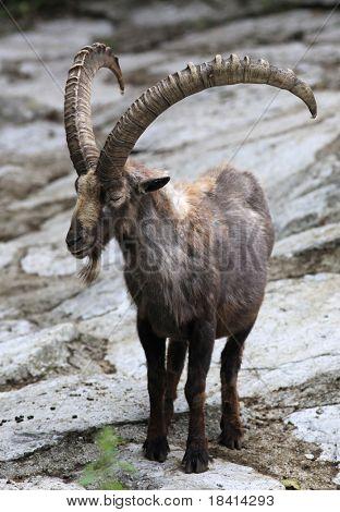 Posing ibex