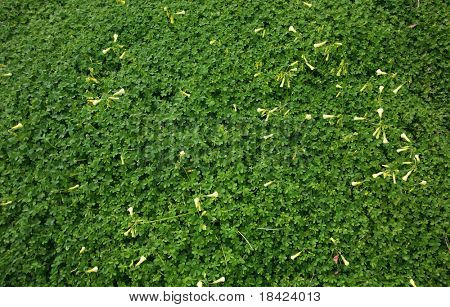 Carpet of the green clovers