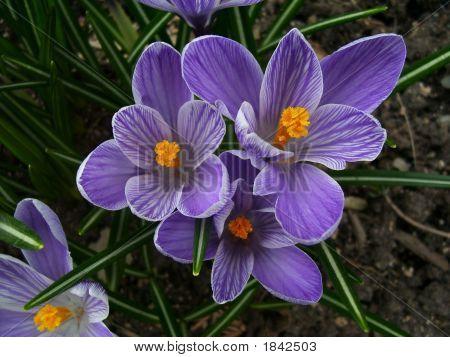 Purple White 3 Dazzlers