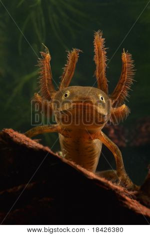 portrait of a larva of the crested newt triturus cristatus juvenile amphibian with large gills endangered species living in small freshwater ponds water animal