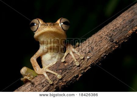 Tree frog in Brazil amazon rainforest night animal jungle frog of tropical rain forest macro on black background with copy space beautiful big eyes sitting on diagonal branch nocturnal amphibian