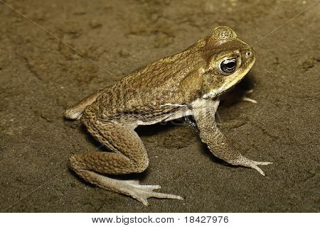 Toad in a puddle at side of big river in Bolivian rain forest bufo or rhinella poeppigii