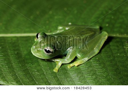 glass frog hyalinobatrachium in bolivian rain forest