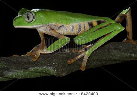 monkey tree frog closeup un a branch