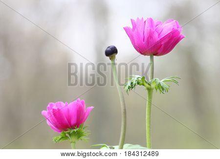 Pink Anemone flowers in Spring season selective focus.