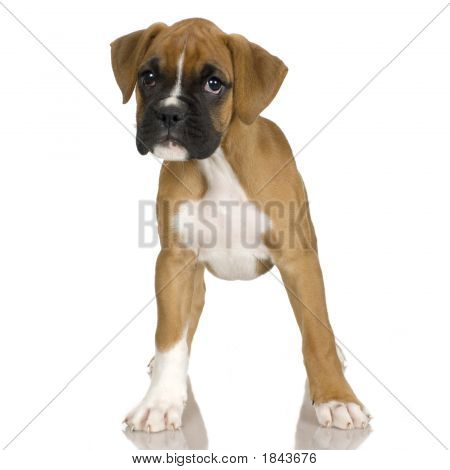 Boxer filhote de cachorro (2 meses)