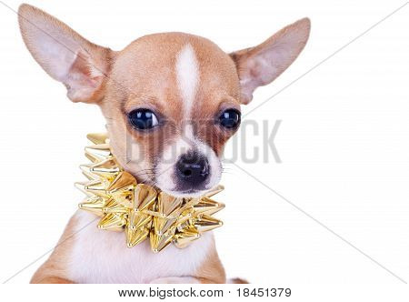 Cluseup Picture Of A Chihuahua Puppy