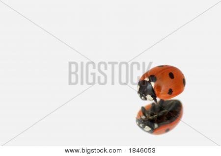 Ladybug On A Mirror