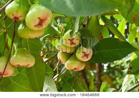 Rose Apple On  Tree