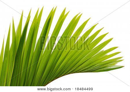 green leaf of palm tree