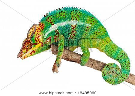 Side view of green male chameleon of branch, isolated on white background.
