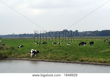 Friesian Cows In Meadow