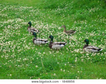 Ducks On The Meadow