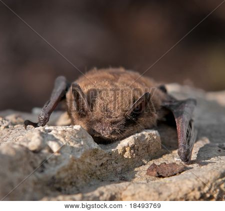 Little Brown Bat (Myotis lucifugus)