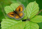 stock photo of gatekeeper  - Single Gatekeeper Butterfly on a large bramble leaf - JPG