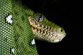 stock photo of jungle snake  - emerald boa in the Bolivian amazon rainforest jungle snake rain forest animal snake amazon green snake and tree snake jungle reptile black background with copy space animal eyes - JPG