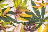 Fresh harvested cannabis leaves pattern isolated over white background - medical marijuana concept poster