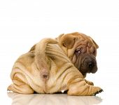 foto of shar pei  - Sharpei in front of a white background - JPG