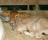 stock photo of brahma-bull  - this is a baby brahma bull - JPG
