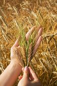 stock photo of gleaning  - Woman hands holding crops against golden wheat field  - JPG