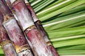 stock photo of arriere-plan  - Sugar cane - JPG