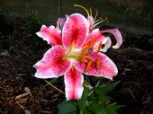picture of asiatic lily  - asiatic lily in bloom - JPG