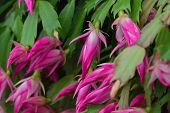 Постер, плакат: Pink flowers of Schlumbergera cacti plant also called Christmas cactus Thanksgiving cactus crab c