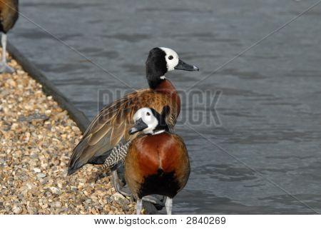 Whistling Ducks