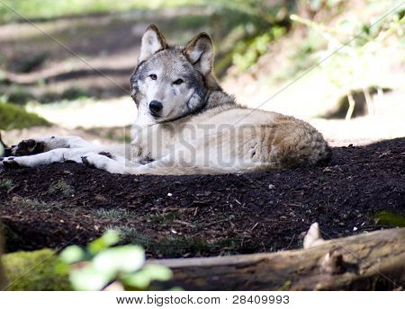 Colocación del lobo